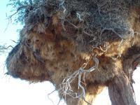 Singlereise Namibia – check der Webervögelnester