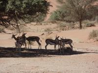Singlereise Namibia – Springböcke