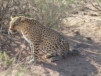 Namibia, Hammerstein Lodge, Leopard