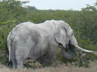 Namibia, Etoscha NP, Elefant