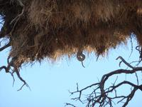 Schlange im Webervogelnest