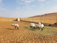 Oman, Wüstencamp 1001 Nacht, Oryx