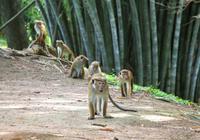 Ceylon-Hutaffen im botanischen Garten von Kandy