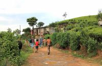 Spaziergang durch die Teeplantagen in Nuwara Eliya