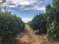 Orangenplantage in der Nähe von Silves