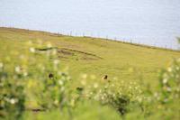 Island - Halbinsel Tjörnes - Islandpferde