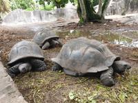 Schildkröten in La Digue, Seychellen (7)