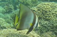 Fledermausfisch, Kanawa Island