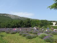 Singlereise Kroatien - Lavendelernte