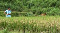 Reisfeld kurz vor der Ernte_Mai Chau