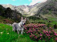 Selen im Tal vom Comapedrosa mit Alpenrosen