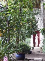 Schöne Zitronenplantage