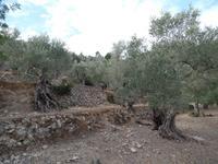 Singlereise Mallorca Wandern – Olivenbäume