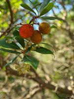 Erdbeeren vom Baum
