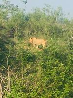 Löwe im Krugerpark