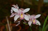 Orchidee, Königin der Blumen