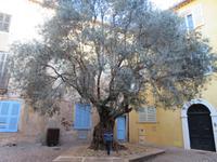Jahre alter Olivenbaum in Frejus