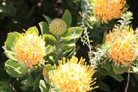 Nadelkissenprotea auf der Kaphalbinsel