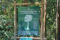 Riesenbaum im Tsitsikamma-Nationalpark