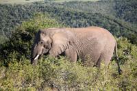 Elefant im Kariega Game Reserve