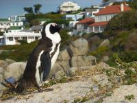 Pinguin Kolonie