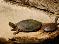 Albanien - Butrint - Schildkröten führen sich im Brackwasser pudelwohl