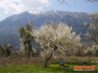 Mandelblüte in Dodona