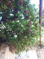 Wein im Pantanassa Kloster Mistars