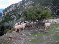 Schafe im Taygetos