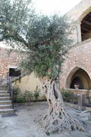 Kreta - Olivenbaum im Kloster Arkadi