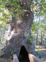 Rhodos Westküste - älteste Platane der Insel