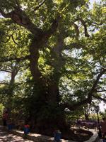020 Platanenbaum