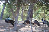 Pfaue in Knossos