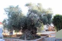 Der älteste Olivenbaum von Kreta (vllt. auch der Welt)