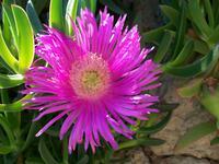 Flora der Adria, Mittagsblume