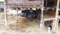 130 Sulawesi - Rantepao, Viehmarkt