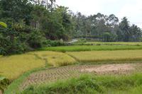Reisfelder im Hochland von Sumatra