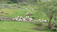 Schafetreiben bei Schäfer Kissane