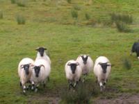 die Schafe gehorchen...