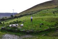 Ring of Kerry - Sheep Farm