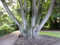 Solch interesannte Bäume stehen im Park vom Schloss in Kilkenny