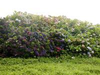 Hortensienhecken in Bantry