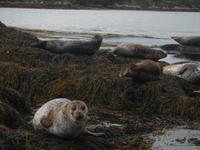 Seals in der Bucht von Glengarriff