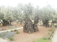 Garten Gethsemane - uralte Ölbäume
