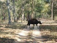 Bisons in Kanha