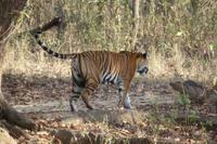 Tiger im Kanha Nationalpark