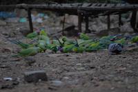 Sittiche in Ranthambore