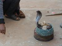 Indien, Jaipur, Cobra