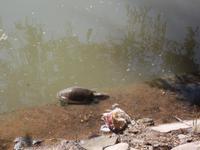 Wasserschildkröten am Seetempel