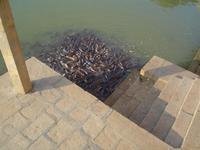 Jaisalmer - Fütterung der Welse